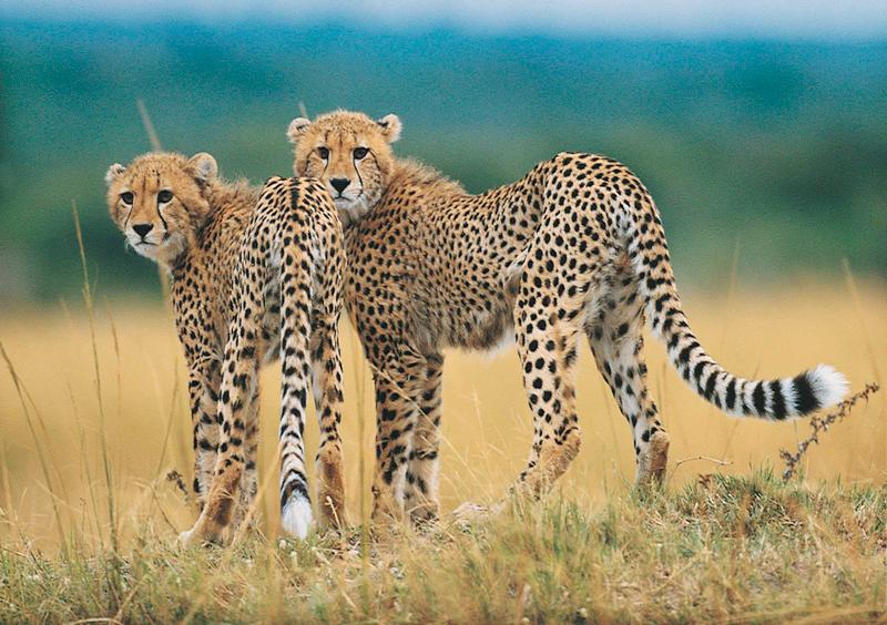 Cheetahs Kruger National Park