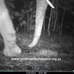 Elusive Knysna elephant caught on camera