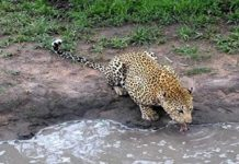 Big game and big luxury make Londolozi the best resort in the world
