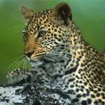 Imitation fur project to save leopards