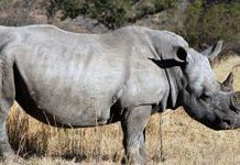 South African rhinos need technology to curb poaching