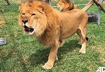 33 rescued circus lions find safe home in South Africa