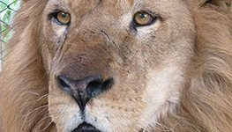 Rescued lions find home in South Africa