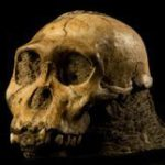 'New hominid species' at the Cradle