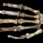 SA's 'best candidate for human ancestor'