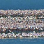 Kamfers Dam flamingos on webcam