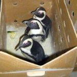 SANCCOB in Namibian penguin rescue