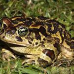 Helping South Africa's endangered toads