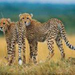 Wild cheetahs return to the Free State