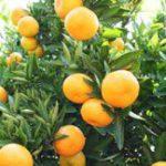 SA citrus exporters look to BRICS