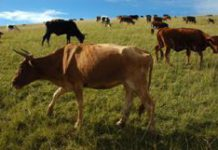 Farmers sought for Nguni cattle project
