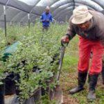 Berry farming takes root in E Cape