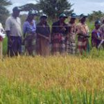 Rice farming to take root in South Africa
