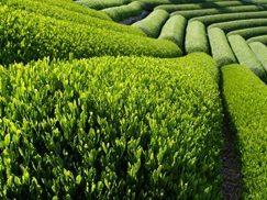 KZN: world-class tea producer