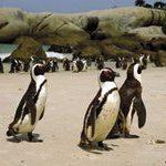 Boulders penguins' promised land