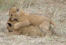 Addo's lion cubs leave home