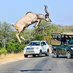 Leaping kudu caught on camera in South Africa