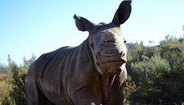 Orphaned baby rhino named