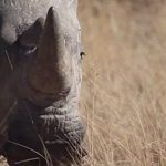South African rhino film wins award in New York