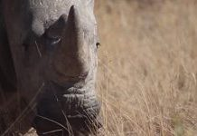 South African rhino film wins award in New York