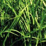 SMS for better sugar crops