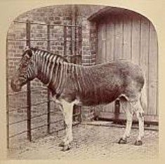 Bringing back the quagga