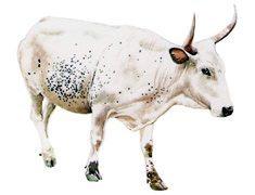 The abundant Nguni herds