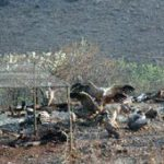 Vultures on pylons study launched