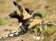 Help spot Kruger's wild dogs