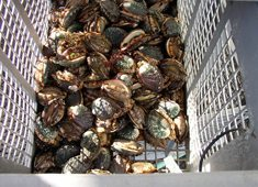South Africa bans abalone fishing