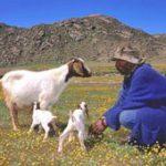 IDC boost for goat farming