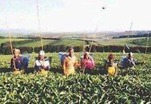 'Zulu Tea' creates a stir in the UK