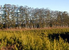 SA pushes forestry investment