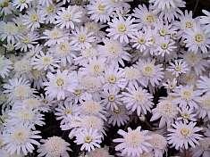 SA flower exports set to bloom