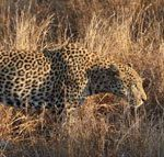 'Green hunting' the Big Five