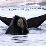 Watching the right whale