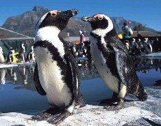 Slow down - penguins crossing!