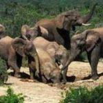 Elephant culling 'a last resort'