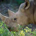 SA takes the fight to rhino poachers