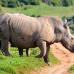 Rhino poaching syndicate nabbed in Pretoria