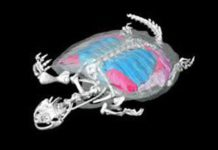 Wits University researchers reveal how the tortoise got its shell