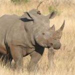 South Africa mulls legalising rhino horn trade