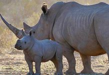 Rhino poaching numbers in South Africa continue to grow