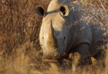SANParks sells rhinos to foil poachers