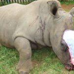 Poaching victim Hope survives surgery