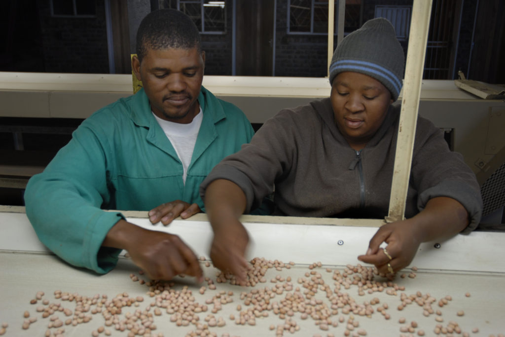 Frans Mmolana and Virginia Geco sort peanuts (groundnuts) on a farm in the Vaalharts Irrigation Scheme region