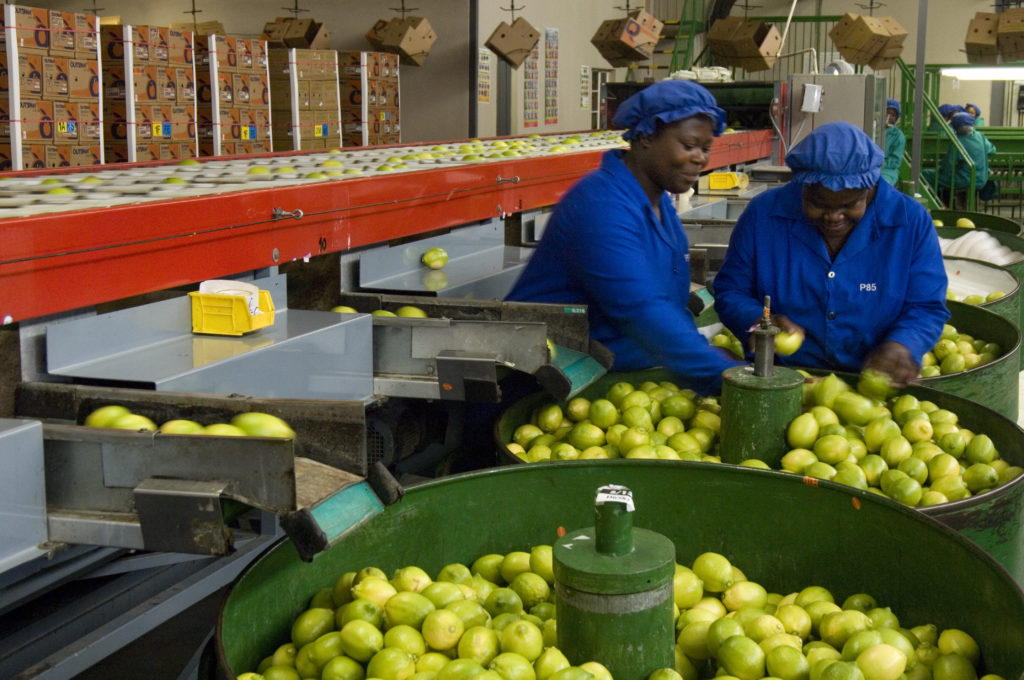 Hoedspruit, Limpopo province: Fruit packing at the Bavaria fruit farm