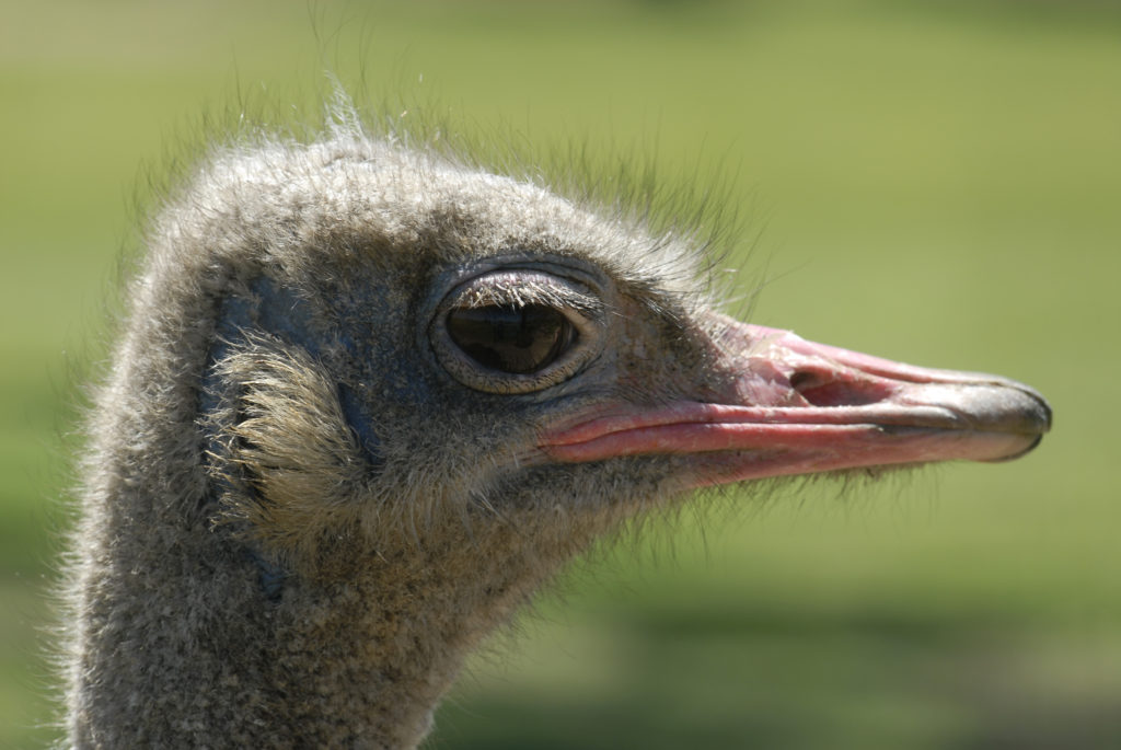 Harrismith, Free State province: Ostrich