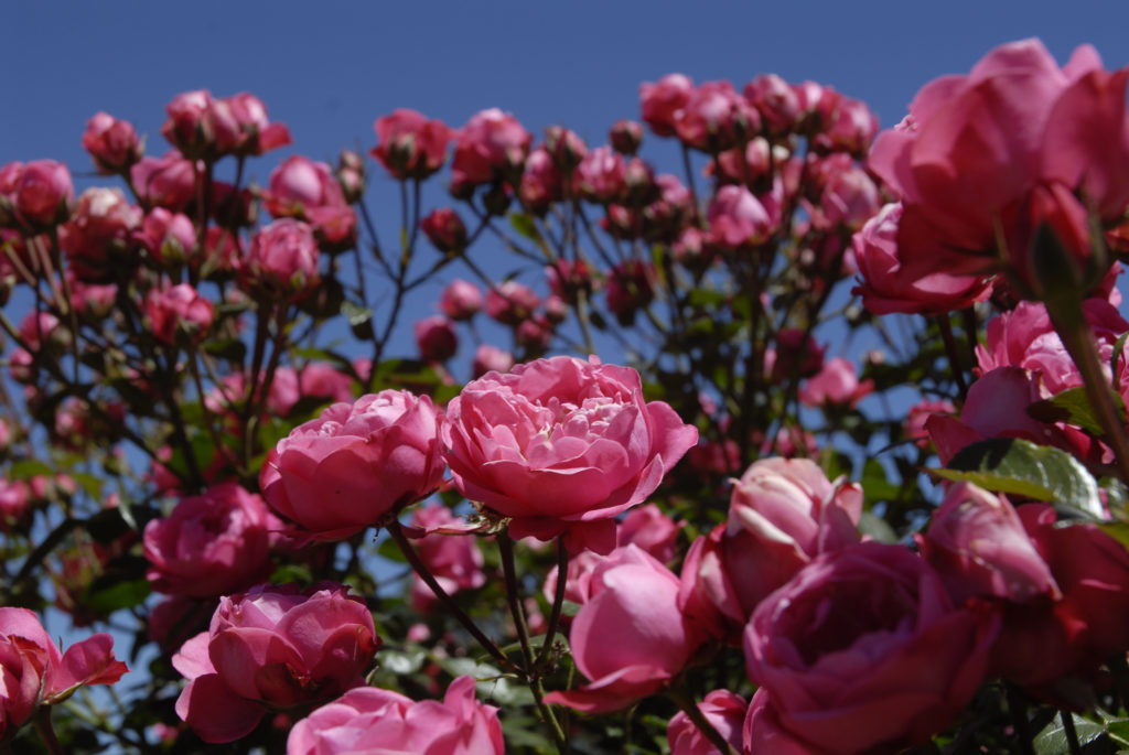 Harrismith, Free State province: Roses