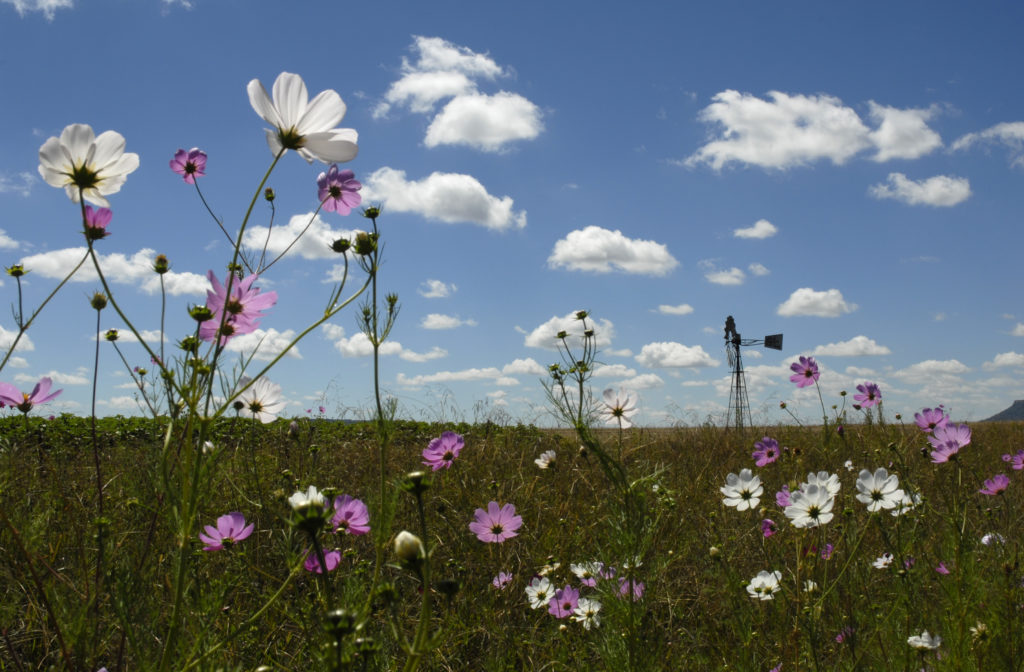 Free State province: Cosmos flowers in full bloom